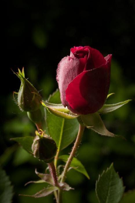 Приворот на розу гранат сандал и пачули
