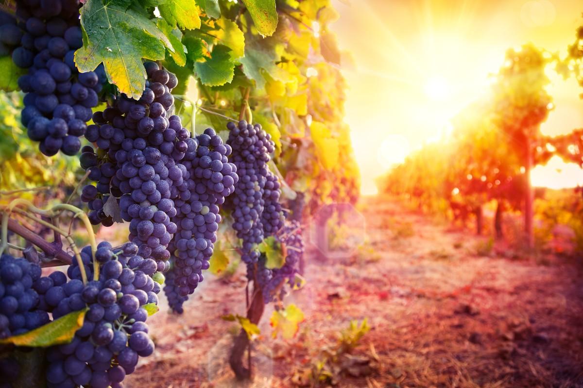 фотообои с виноградной лозой два